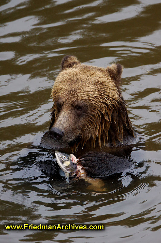 Bear eating fish vertical for What do wild fish eat