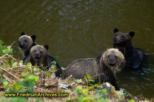 4 Bears Looking