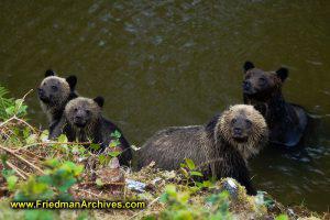 4 Bears Looking