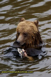 Bear eating fish vertical