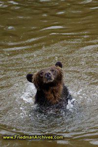 Bear in water in rain