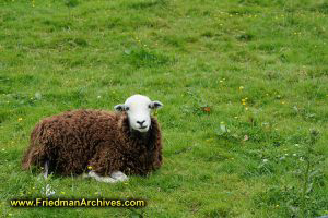 Chernobyl Sheep