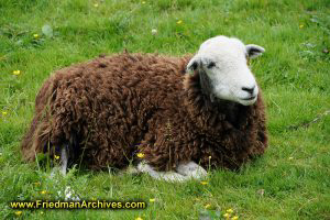 Cherynobyl sheep