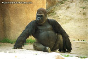 Animals / Gorilla