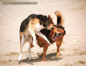 Mike and Kona Fighting at Beach