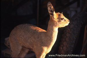 Namibia Images Adult Steenbok