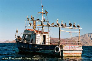 Pelicans on Boat (horizontal)