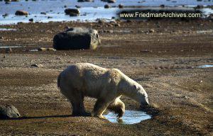 Polar Bear No Snow