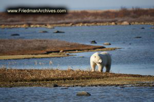 Polar Bear with No Snow