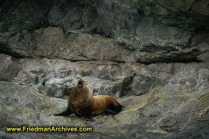 Sea Lion in Alaska