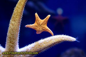 Two starfish hold hands under the sea.