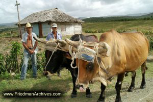 Two Guys with OxenTwo Guys with Oxen