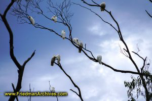 White Cockatoos in Tree