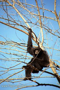 baboon,monkey,hanging around,tree,blue,sky,nashville,good light