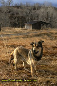 faithful,dog,field,backyard,hunting,yellow,grass,shed