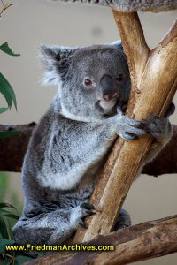 animal,australia,quantus,koala,tree,icon