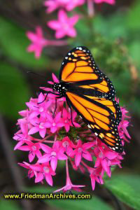 butterfly,monarch,flower,pink,yellow,black,macro,low,light