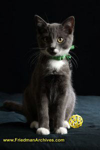 cat,pet,black,kitten,sitting,portrait,studio,attention,ball,toy